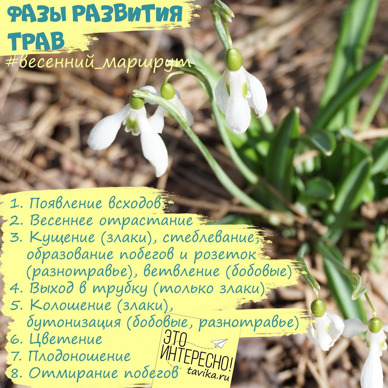 фенофазы у цветов и трав