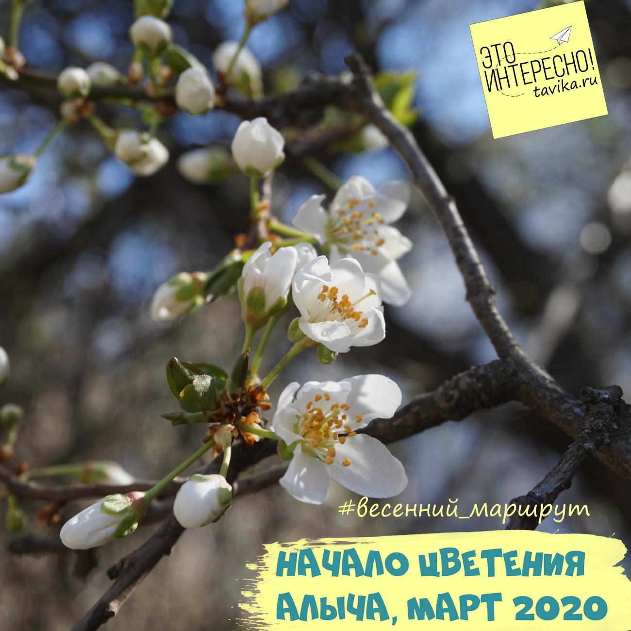 фаза начала цветения у алычи