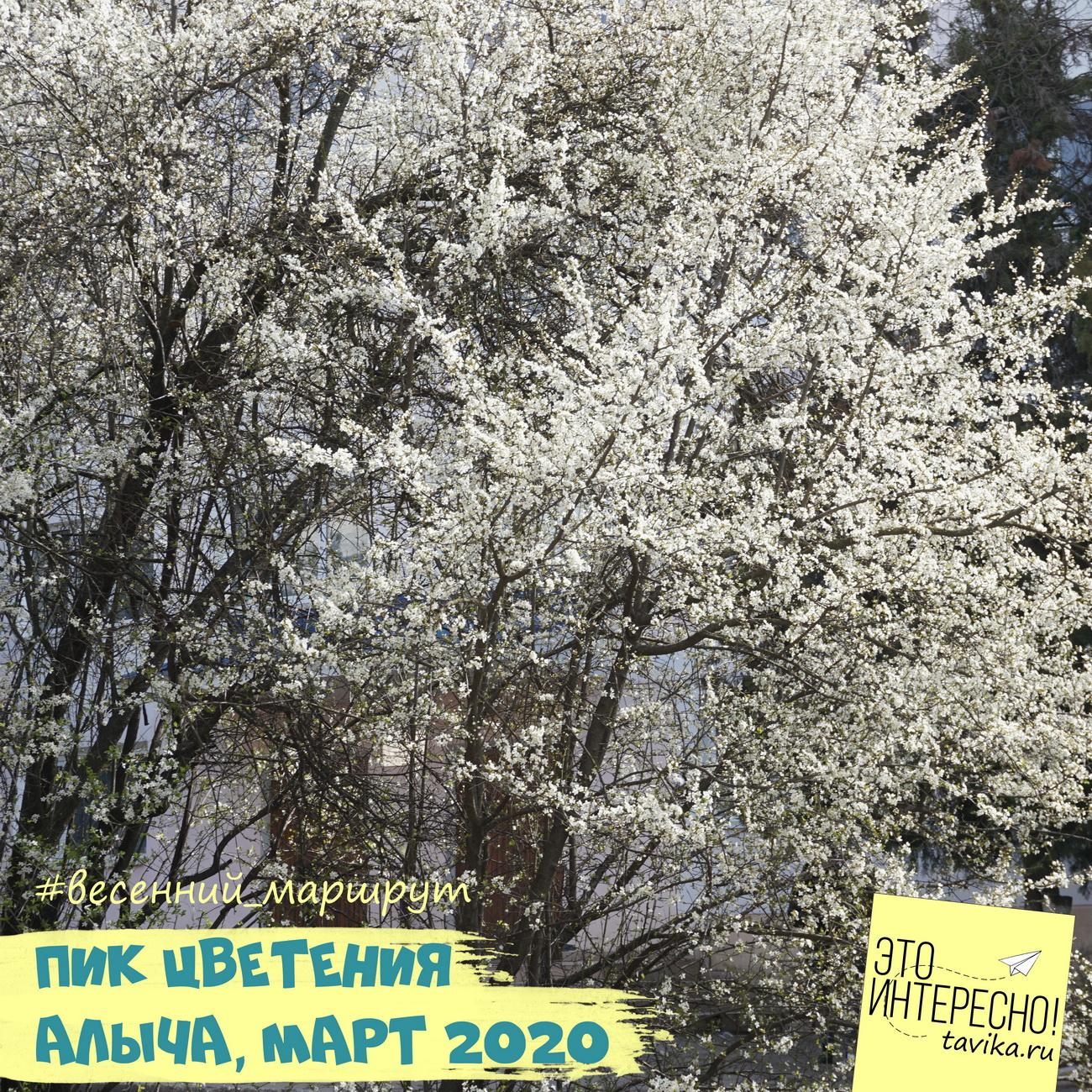 пик цветения у алычи