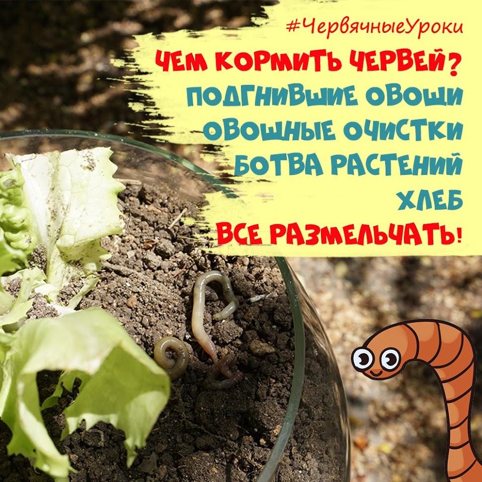чем питаются дождевые черви в неволе